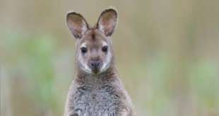 irlande-ferme-animal-zoo-wallaby2
