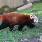 Red Panda - Fota Wildlife Parc