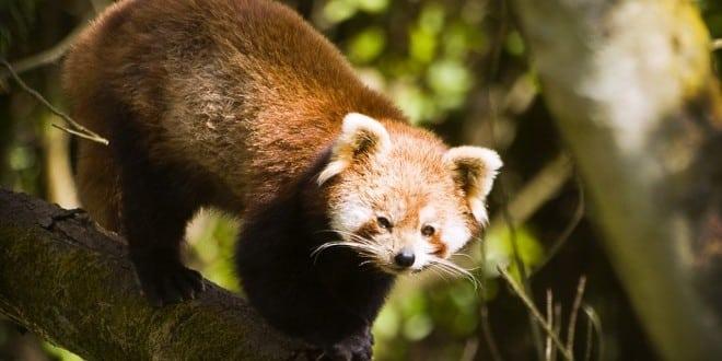 panda-roux-red-zoo-belfast