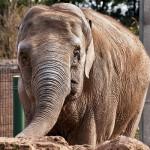 elephant-zoo-belfast-irlande-nord