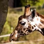 girafe-zoo-belfast-irlande-nord