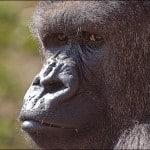 gorille-zoo-belfast