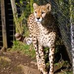 leopard-zoo-belfast-irlande-nord