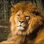 lion-zoo-belfast-irlande-nord