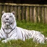 tigre-blanc-zoo-belfast-irlande-nord